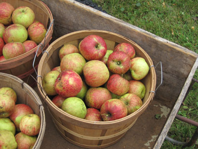 baskets of Haralson apples