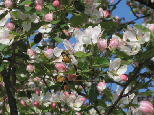 bumblebee on crabapple blossom